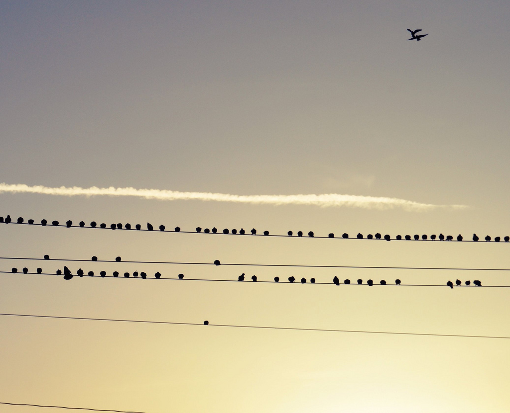 Photo: dozens of birds sitting on telephone wires, with two birds flying overhead